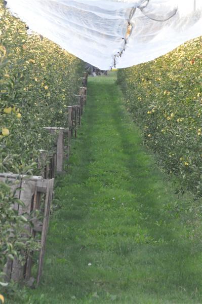 Les pommes attendent les cueilleurs   photo MARIE JOSE AUDOUIN-JEANNIN