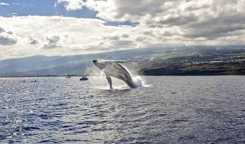 île de la Réunion , Baleine à bosse